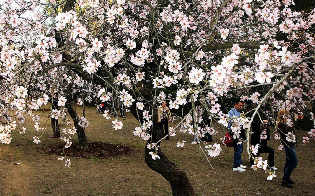 Paseo por los almendros en flor de la quinta de los molinos